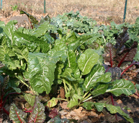 Vegetables growing at Community Garden
