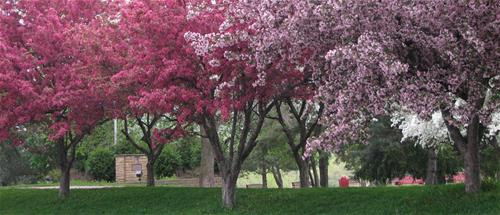 Flowering crab trees in spring