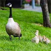 Monitor Geese