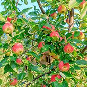Aboretum Orchard Apples